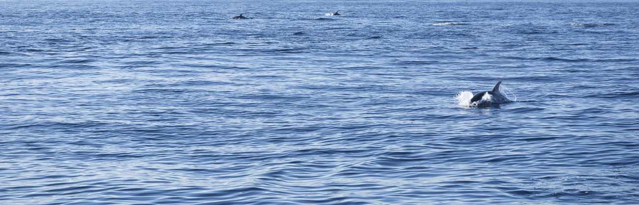 47__2014-12-27-catalina-island-sailing-sv-unicorn_202_full-doliphins-pacific-ocean